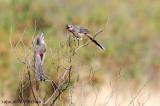 Rosy-patched Bushshrike (Rhodophoneus cruentus)