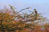 Eastern Yellow-billed Hornbill (Tockus flavirostris)