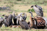 Ruppell's griffon vulture (Gyps ruppellii)