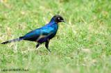 Ruppell's Starling (Lamprotornis purpuropterus)