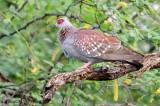 Speckled Pigeon ( Columba guinea )