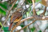 Spotted Palm-Thrush  (Cichladusa guttata)