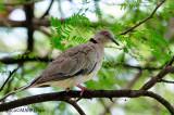 Red-eyed Dove (Streptopelia semitorquata)