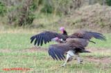 Lappet-faced vulture (Aegypius tracheliotus)