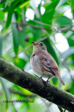 Brown-streaked Flycatcher (Muscicapa williamsoni)