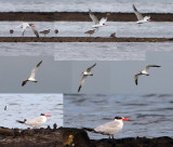 Laridae (Gulls and terns)
