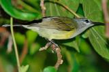 Copper-throated Sunbird, Female