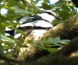 Pied Triller ( Lalage nigra )