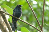 Racket-tailed Drongo, Junvenile