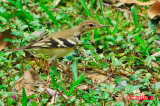 Forest Wagtail ( Dendronanthus indicus )
