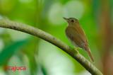 Brown-chested Jungle-flycatcher (Rhinomyias brunneata)