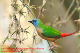 Thailand Birds