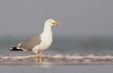 Yellow -legged gull / Geelpootmeeuw