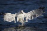 Herring Gull(Larus argentatus)