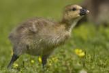 Juvenile birds