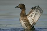 Tufted Duck.Female ( Aythya fuligula)
