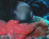 Black Angel and Red Sponge