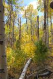 Through the Aspen Grove
