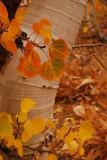 Fall Colors of the Aspen