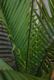 Palm Frawn