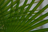 Interwined Palm Fronds