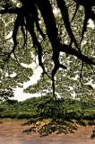 big tree and mekong river