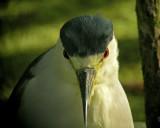 Beady Eyes Black-crowned Night-Heron