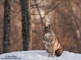coyote IMG_7560-800.jpg
