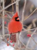 cardinal rouge  IMG_7807-800.jpg