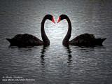 st-valentin cygne noir 142_4260-800.jpg