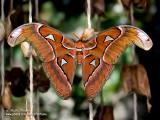 papillon cobra IMG_9576-800.jpg