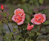 roses_of_biltmore