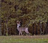 Buck in October