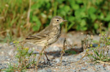 Alouettes, Pipits