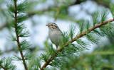 Oiseaux rares pour l'Abitibi