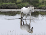 White Horse at the Camargue