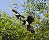 fun and games in birdland - European Magpies