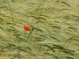 hypnotic wheat fields in the sun