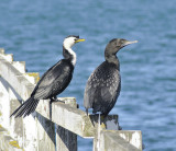 Little Shags, 1 Sept 2010