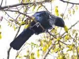 The tui feeds on Kowhai