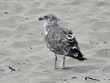 Southern Black Backed Gull - first year plumage