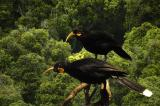 The Huia - Extinct or Not??