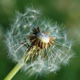 29 Jan 06 - The Dandelion