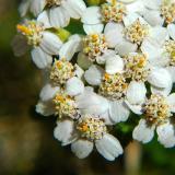 White Weed Flowers (II)
