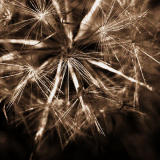 10 Feb 06 - The Dark Mood of the Dandelion