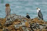 3 Shags having a silent discussion