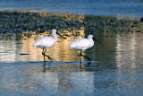 Spoonbills March to Same Beat