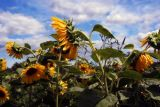 Cape Cod: Sunflowers