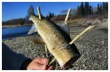 November 9, 2008 --- Red Deer River, Alberta