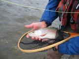 Crowsnest River Rainbow